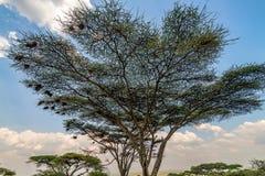 Árvore da acácia do espinho do guarda-chuva ou tortilis de Vachellia imagens de stock