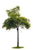 Árvore da acácia do rebento. Fotos de Stock