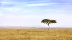 Árvore da acácia em Masai Mara fotos de stock royalty free