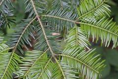 Árvore da agulha Fotografia de Stock Royalty Free