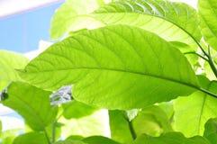 Árvore da alface Imagens de Stock Royalty Free