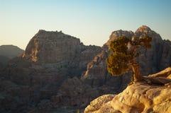 Árvore da baga de zimbro Fotografia de Stock