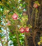Árvore da bala de canhão Fotos de Stock Royalty Free