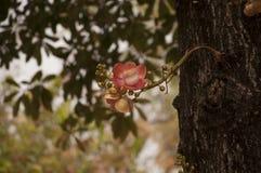 Árvore da bala de canhão em Wat Niwet Thammaprewat Imagens de Stock Royalty Free