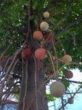 Árvore da bola de canhão foto de stock