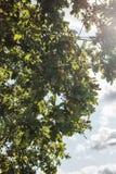 Árvore da bolota com crescimento das bolotas Imagens de Stock Royalty Free