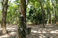 Árvore da borracha Foto de Stock Royalty Free