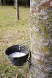 Árvore da borracha Fotos de Stock
