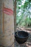 Árvore da borracha Foto de Stock