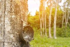 Árvore da borracha com fundo da luz do sol da natureza, fim acima Foto de Stock Royalty Free