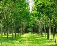 Árvore da borracha de Para Foto de Stock