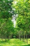 Árvore da borracha de Para Fotos de Stock