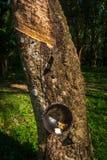 Árvore da borracha produzindo o leite de borracha branco recolhido em um copo preto imagem de stock royalty free
