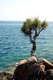 Árvore da bruxa ou árvore pequena do espírito do cedro Fotos de Stock Royalty Free