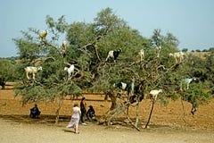 A árvore da cabra em Marrocos fotografia de stock