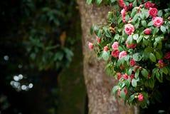 Árvore da camélia Imagens de Stock