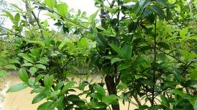 Árvore da camélia pela lagoa imagem de stock