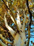 Árvore da camuflagem, casca colorida, natureza do outono fotos de stock
