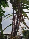 A árvore da cana-de-açúcar imagens de stock royalty free