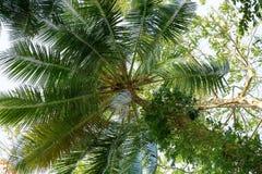 árvore da Coco-palma contra o céu azul Fotos de Stock