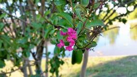 A árvore da Crepe-murta foto de stock royalty free