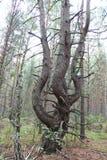 Árvore da dança imagem de stock