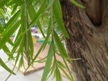 Árvore da escova de garrafa Fotos de Stock