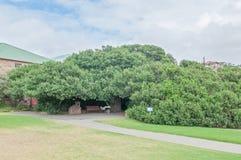 Árvore da estação de correios em Mosselbay Imagens de Stock
