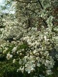 Árvore da flor Fotografia de Stock Royalty Free