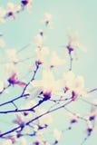 Árvore da flor da magnólia Imagem de Stock
