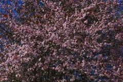 Árvore da flor de cerejeira com as flores cor-de-rosa e vermelhas no fundo do céu azul Fotos de Stock