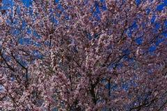 Árvore da flor de cerejeira com as flores cor-de-rosa e vermelhas no fundo do céu azul Fotografia de Stock Royalty Free