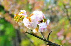 Árvore da flor de cerejeira da mola Fotografia de Stock