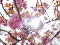 Árvore da flor de cerejeira ou de serrulata do Prunus florescência completa no parque local de Japão fotos de stock