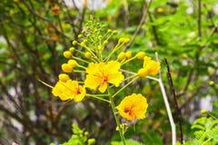 Árvore da flor do amarelo do pulcherrima do Caesalpinia Foto de Stock