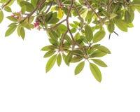 Árvore da flor do Frangipani isolada no branco Foto de Stock