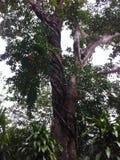 Árvore da floresta úmida no Peru Foto de Stock