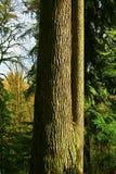 Árvore da floresta noroeste pacífica e de cicuta ocidental Fotos de Stock Royalty Free