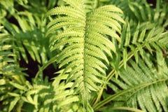 Árvore da folha da samambaia Imagens de Stock