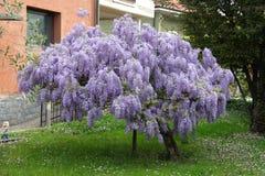 Árvore da glicínia fotografia de stock
