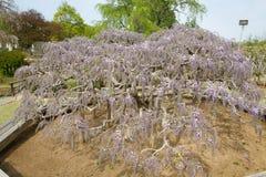 Árvore da glicínia Foto de Stock Royalty Free