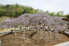 Árvore da glicínia Imagem de Stock