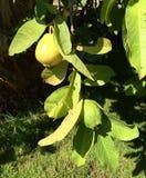 Árvore da goiaba Foto de Stock