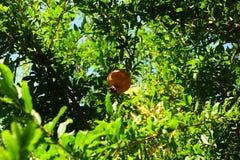 Árvore da grandada Imagem de Stock