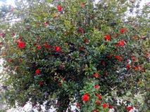 Árvore da grandada Fotografia de Stock Royalty Free