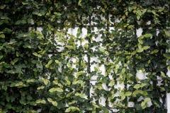 Árvore da hera na parede branca Imagens de Stock Royalty Free