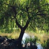 Árvore da ilha de Granville Imagem de Stock Royalty Free