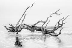 Árvore da ilha de Jekyll imagens de stock