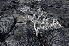 Árvore da lava Imagens de Stock