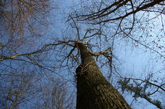 Árvore da licença-menos Imagem de Stock Royalty Free